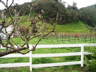 Claiborne_Vineyard_1